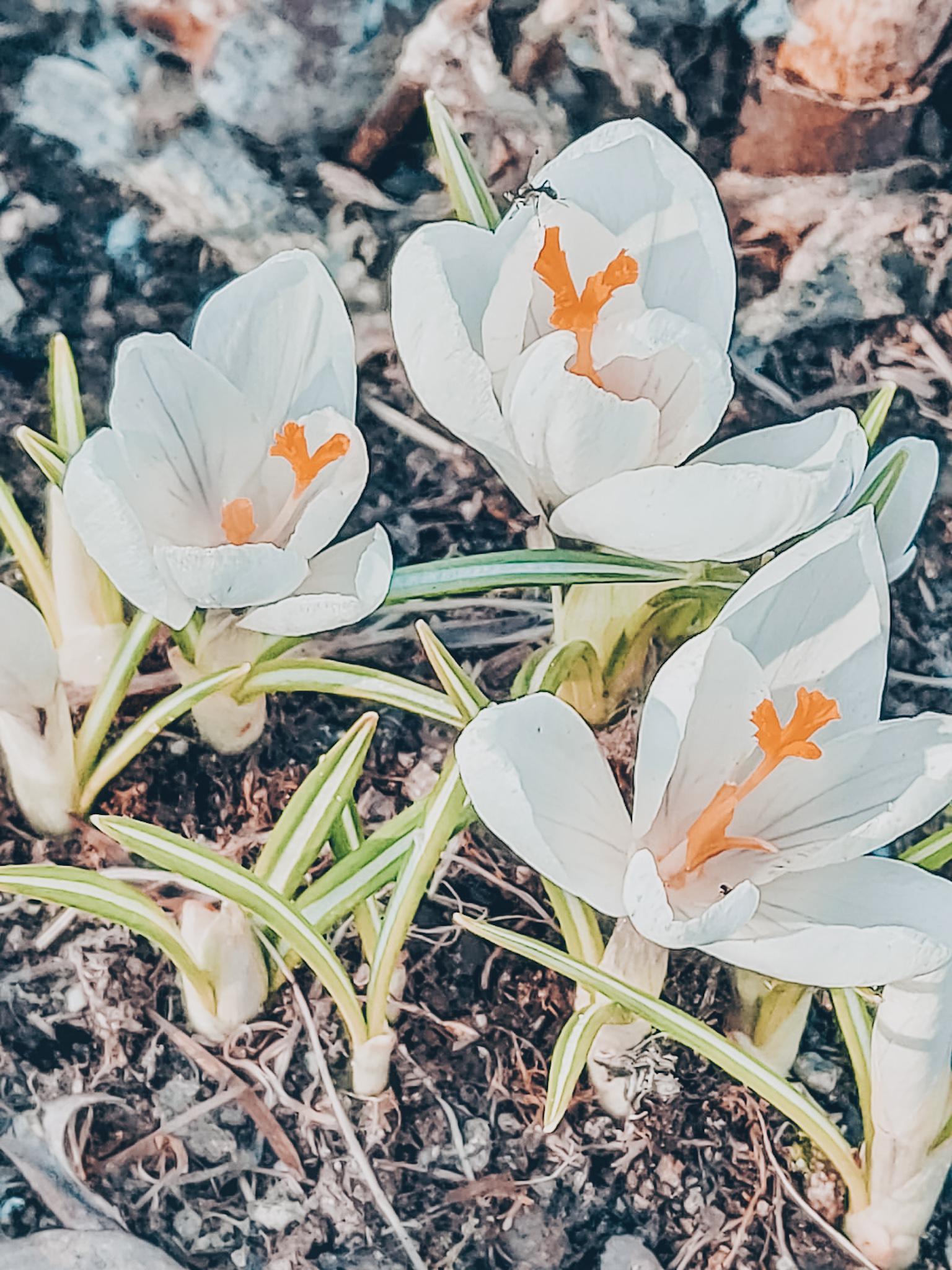 kevät ja kukat