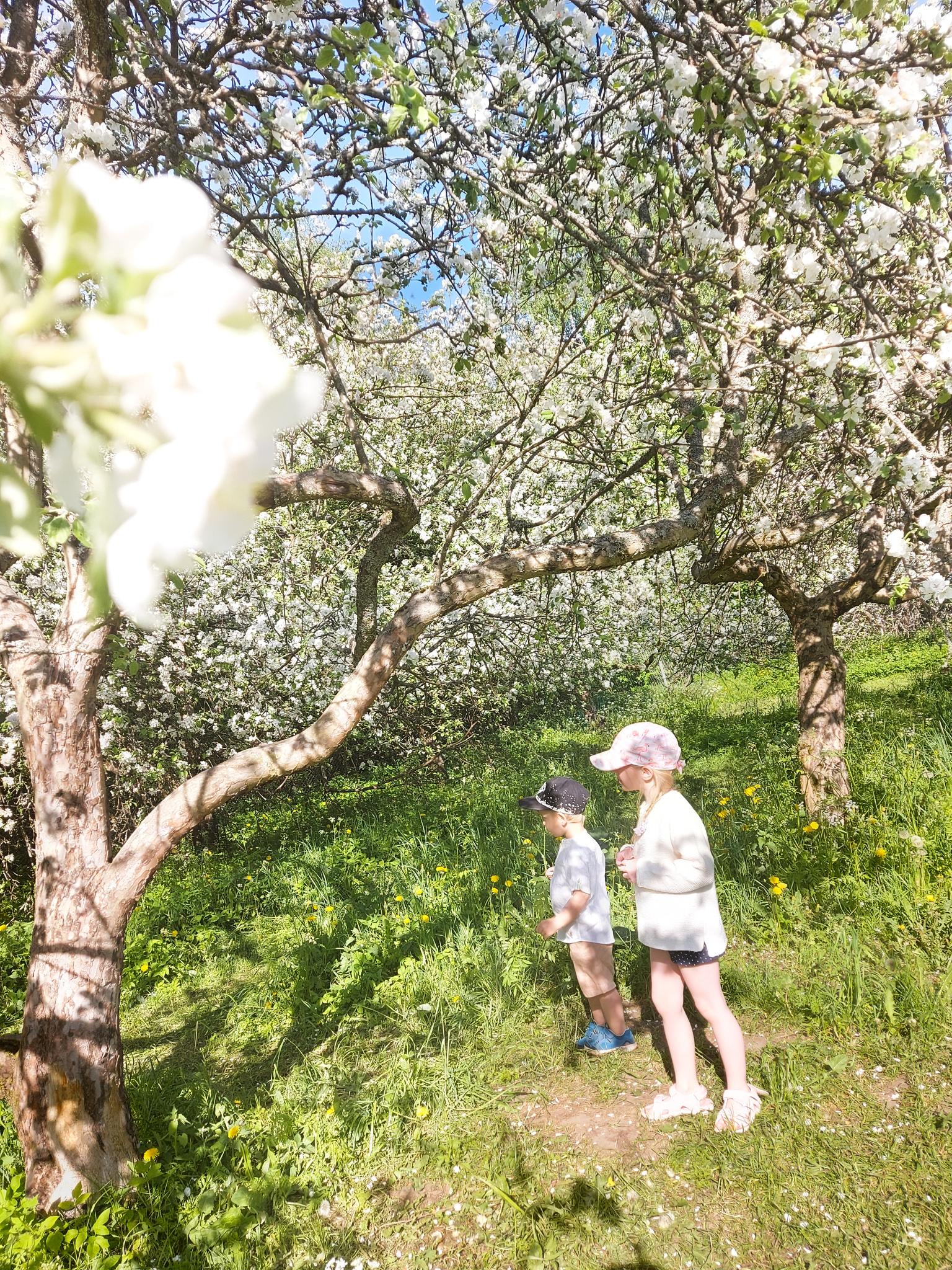 lapset ja omenapuut